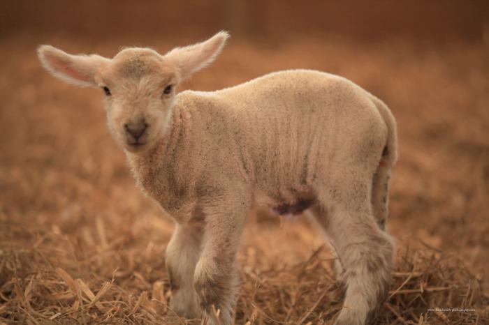 Abraham sacrificing a lamb