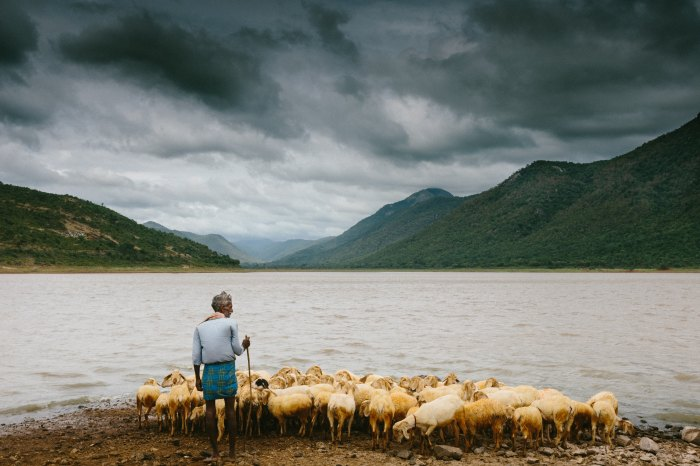 man leading this flock to a body of water