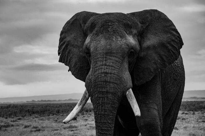 elephants tusk black and white
