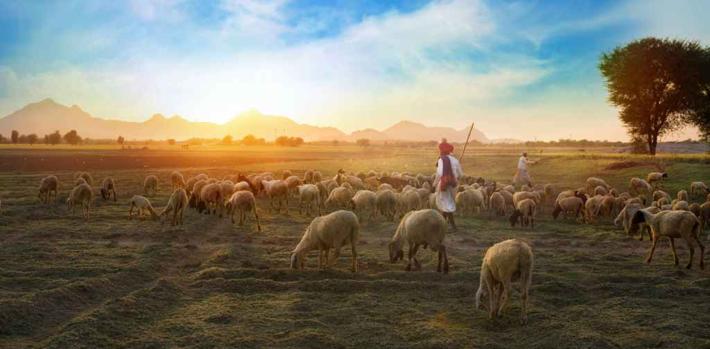 white sheep on farm sunset shepherd